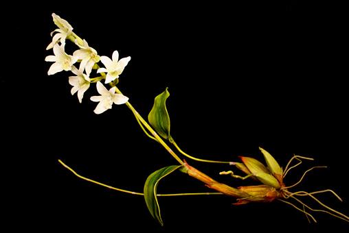クリス・チョン・チャン・フイ『END74 Pholidota sigmatochilus』「固有種」シリーズより、2015年 作家蔵