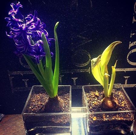 相壁が音楽を聴かせて育てた植物(左)と、聴かせずに育てた植物(右)