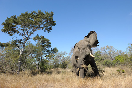 威嚇するオスのアフリカゾウ クルーガー国立公園/南アフリカ ©山形豪