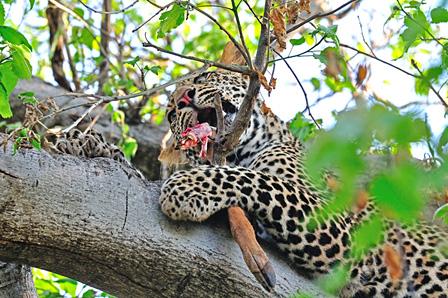 インパラを食べるヒョウ マシャトゥ動物保護区/ボツワナ ©山形豪